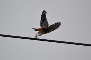 American Kestler - male [flying] 01