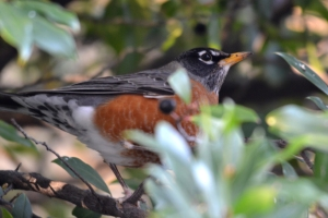 American Robin [on branch] 02