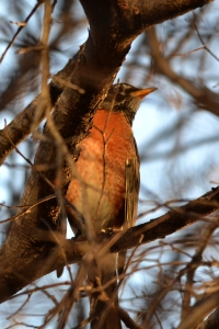 American Robin [on branch] 04