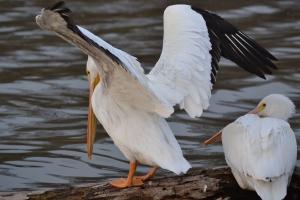 American White Pelican [wings spread] 01