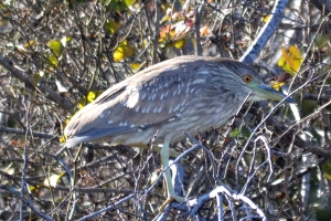 Black Crowned Night Heron Juvinile
