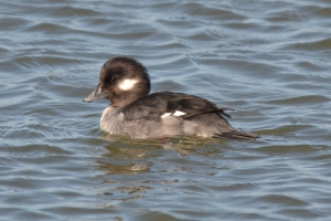 Buffelhead Duck