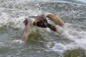 flying mallard out of chaos