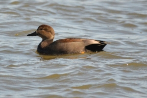Gadwall [swimming] 01
