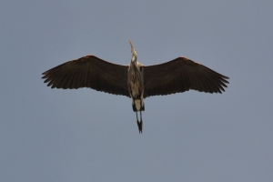 Great Blue Heron [flying] 01