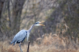 Great Blue Heron [mouth wide open] 01