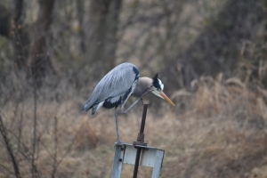 Great Blue Heron [scratching] 01