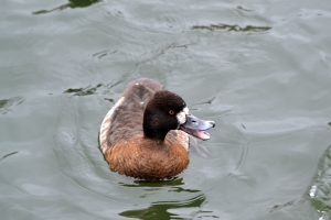 Lesser Scaup - female [mouth open] 01