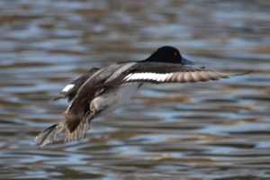 Greater Scaup - Male [flying] 01