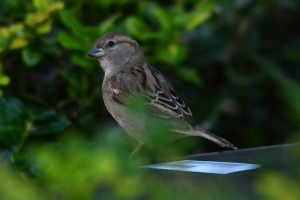 House Sparrow - female [in bushes] 01