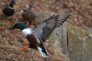 Northern Shoveler [leaping] 03