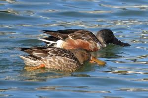 Northern Shovelers - male female pair feeding 01