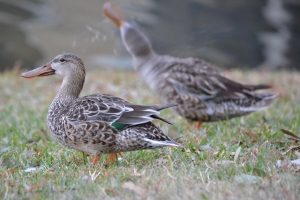 Northern Shovelers - two females 01