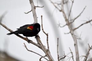 Red Winged Black Bird  11