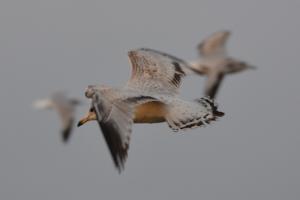 Sea Gull [flying]