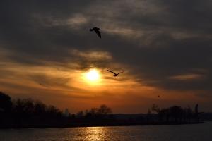 Sea Gull [flying] 05