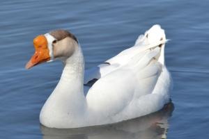 White Chinese Goose Hybrid