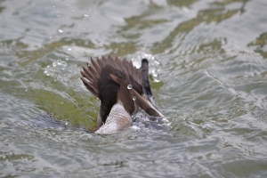 Greater Scaup  [diving] 02