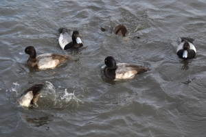 Greater Scaup  [diving] 07