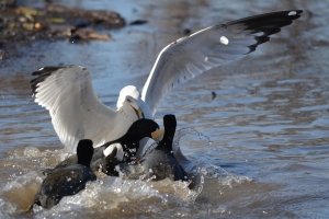 Sea Gull and Coots [fighting for food] 01