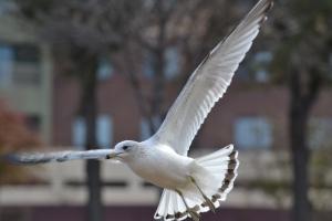Sea Gull [flying] 01