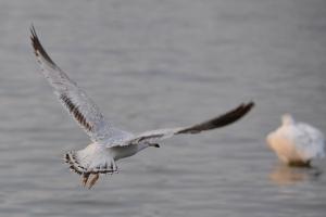 Sea Gull [flying] 03
