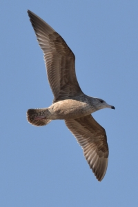 Sea Gull [in sky[] 01