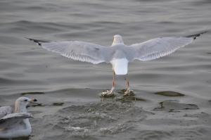 Sea Gull [Landing] 01
