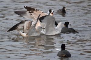 Sea Gulls [Frenzy] 01