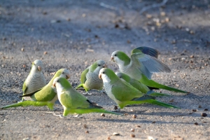 White Winged Parakeet 20