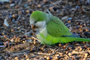 White Winged Parakeet 25