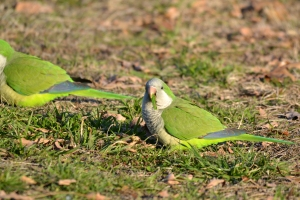 White Winged Parakeet 28