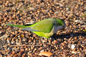 White-winged Parakeet [on ground] 01