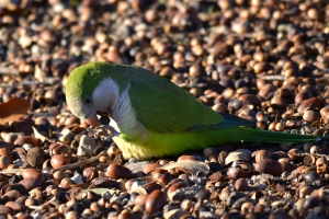 White-winged Parakeet [on ground] 02