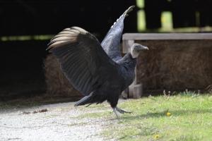 American Black Vulture 01