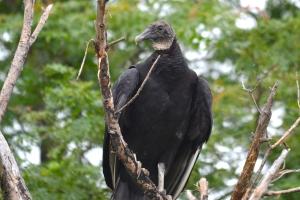 American Black Vulture 02