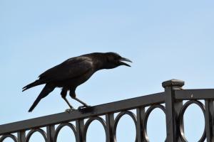 American Crow [bill open] 01