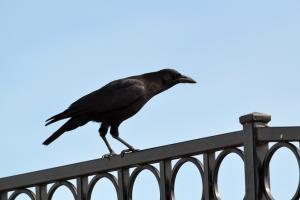 American Crow [on rail] 01