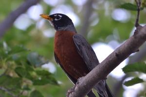 American Robin 01