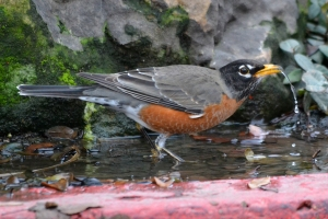 American Robin 02