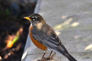 American Robin 06