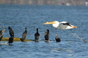 American White Pelican 05