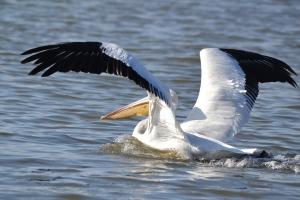 American White Pelican 06