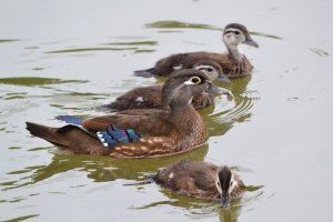 Baby Wood Ducks 04