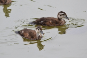 Baby Wood Ducks 06