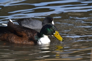 Bibbed Domestic Mallard 03