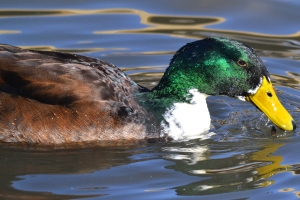 Bibbed Domestic Mallard 04