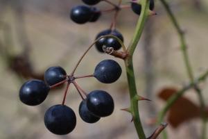 Black berries 01 (2)