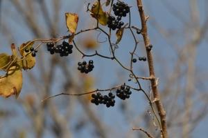 Black Berries 01