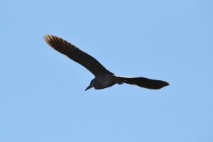 Black Crowned Night Heron 02